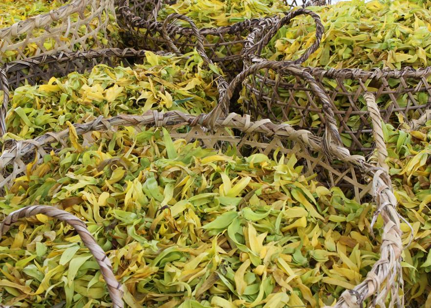 Récolte de fleurs Hayari Parfums
